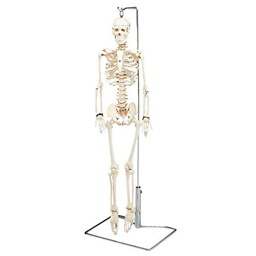 - Flexible Mr. Thrifty Skeleton with Spinal Nerves & Stand