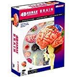 Human Brain Anatomy Model - Build your