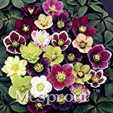 Novelty Plant 100PCS Hellebore (Christmas Rose)Helleborus niger seed bonsai flower plant home garden
