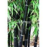 Loss Promotion! 20 bamboo seeds rare giant black moso bamboo bambu seeds professional pack Bambusa Lako tree seeds for home garden