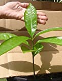 CANISTEL~ FRUIT TREE Yellow SAPOTE Pouteria campechiana LIVE Sml Starter