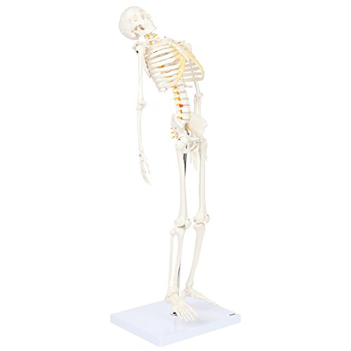 Axis Scientific Mini Human Flexible Skeleton Model with Stand | 31 Inches Tall Skeleton Includes Flexible Spine and Removable Arms and Legs | 3 Year Warranty (Spine Removable)