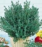 100 Thyme Seeds