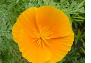 Poppy California Orange Nice Garden Flower By Seed Kingdom BULK 5 Lb Seeds by seed kingdom