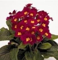 Polyanthus  Crescendo Wine  10 Seeds