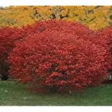 (LINER) Burning Bush, Brilliant Red Fall Color-like on Fire, Fast Grower, Cold Hardy