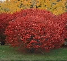 liner-burning-bush-brilliant-red-fall-color-like-on-fire-fast-grower-cold-hardy