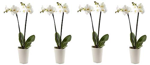 Color Orchids Live Double Stem Phalaenopsis Orchid in Ceramic, 20-24'', Assorted (4-(Pack)) by Color Orchids