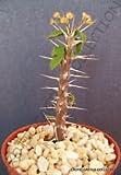 Euphorbia DELPHINENSIS @ Exotic Rare Succulent Cactus Cacti Plant Seed -5 Seeds