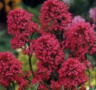 Amazon 40 centranthus red jupiters beard flower seeds sun 40 centranthus red jupiters beard flower seeds sun or shade loving perennial drought mightylinksfo Images