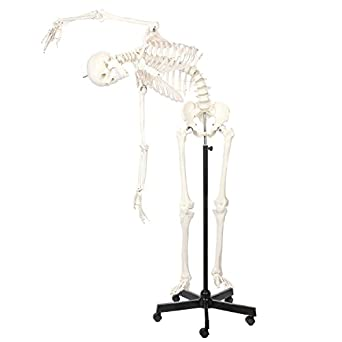 Axis Scientific Life Size Flexible Skeleton Anatomy Model | Full Size  Anatomical Skeleton Model | Features a Flexible Spine That Holds Its Shape  |