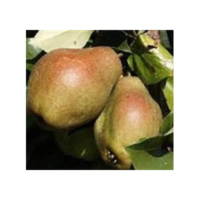 Kieffer Pear Tree - Live Plants Shipped 2 Feet Tall by DAS Farms (No California) : Garden & Outdoor