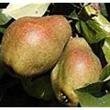 Kieffer Pear Tree - Live Plants Shipped 3 to 4 Feet Tall by DAS Farms (No California)