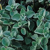 oregano-herb-500-seeds-garden-fresh-pack
