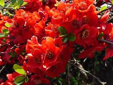 20 Red Flowering DWARF QUINCE Shrub Fruit Chaenomeles Japonica Scarlet (Flowering Quince Fruit)