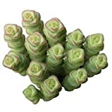 Baby Necklace Crassula rupestris SSP. marnieriana. Succulent (2'' or 4'') (2 inch)