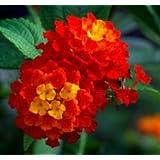 Simply Beautiful Deluxe Flowering Mix Lantana Seeds