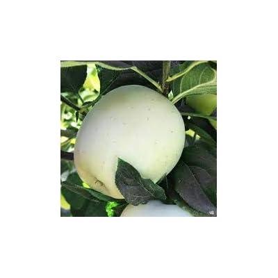 Apple Seeds Rare White Apple Bonsai Fruit Tree Bonsai Apple Perennial Potted Plants DIY Home Garden Planting 30 Pcs : Garden & Outdoor