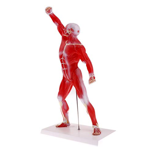 Baosity Anatomical Muscular Human Figure Model Medical Anatomy Skeleton Detail Muscle Structure