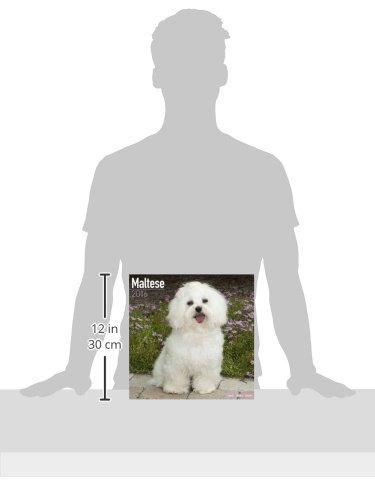 Maltese Calendar - Only Dog Breed Maltese Calendar - 2016 Wall calendars - Dog Calendars - Monthly Wall Calendar by Avonside by AVONSIDE (Image #3)