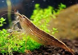 SevenSeaSupply - 2 Large Freshwater Bamboo Shrimp (Live Singapore Flower Shrimp) | Aquarium Filter Shrimp | Safe with Tetra/Guppy/Betta Fish Tank (Order of 2 Shrimp) by SevenSeaSupply