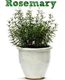 Vamsha Nature Care Live Rosemary Plant - Mosquito Repellent