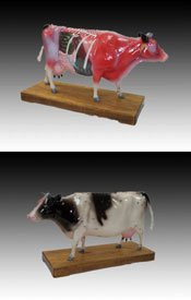 Model Anatomy Professional Veterinary Acupuncture Caddle Cow IT-109 ARTMED