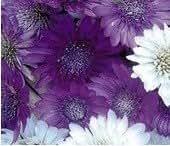 SD1500-0243 Xeranthemum / Dried Chrysanthemum Flower Seeds, Mixed Color Petals, 60-Days Money Back Guarantee (160 Seeds)