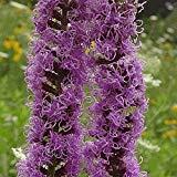 (SVI 300 Prairie Blazing Star Wildflower Seeds - everwilde Farms Mylar Seed Packet)