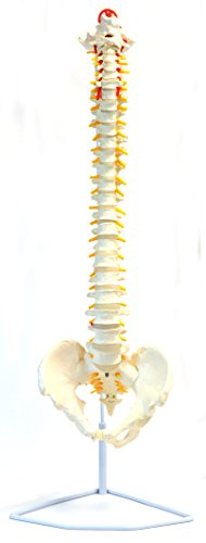 Flexible Spine Anatomical Model, Medical Quality, Life Sized (31.5