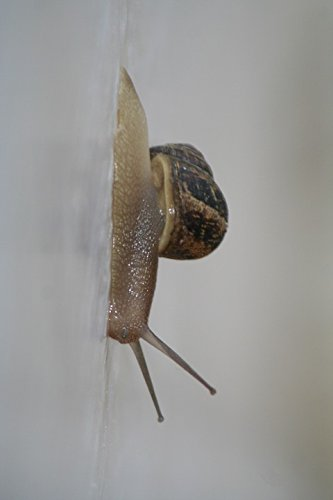 - Home Comforts Laminated Poster Slimy Snail Pest Slug Garden Crawl Land Mollusca Poster 24x16 Adhesive Decal