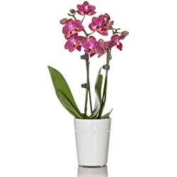 From You Flowers - Magnificent Coral Mini Orchid Plant for Valentine's Day