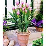 50 Pcs Rare Rhizoma Curcuma Flower Seeds Turmeric Seed Food Seasoning Antibiosis Indoor Potted Bonsai Plants Healthy Garden 12