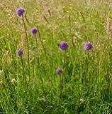Nuts n' Cones Wildflower - Devils Bit Scabious - 400 Seeds
