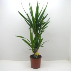 Yucca Shrub - Fully hardy spectacular plant - Brilliant exotic gift - Great for use in Gardens and on Patios - Hardy garden plant - Ideal for office decoration Best4Garden