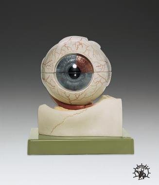 Eyeball 5X Enlarged Professional Anatomical Model SPECIAL SALE by Lake Forest Anatomicals Educational Models