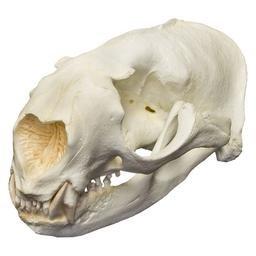 Northern Fur Seal Skull (Male) (Teaching Quality Replica)