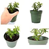 Dwarf Pomegrante Tree Container/Patio/Bonsai Size Graden Plant - 4''Pot Best Gift