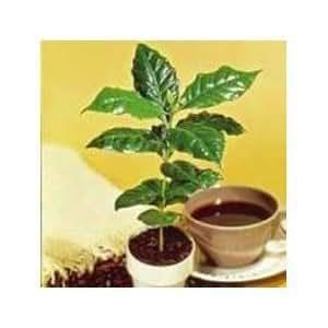 Hinterland Trading Kona Coffee Bean 15 Tree Seeds -Coffea-gourmet-tropical