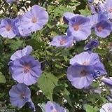 PlenTree 10 Abutilon Seeds-Abutilon Vitifolium Indian Mallow, Flowering Maple, Fast Growing