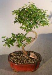 Trunk Flowering (Bonsai Boy's Flowering Sweet Plum- Medium Curved Trunk Style sageretia theezans)
