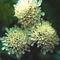 Plant World Seeds - Scabiosa Drakensbergensis Seeds