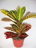 'CROTON' (1) PLANT / CODIAEUM VARIEGATUM PETRA 4'' from jmbamboo