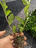 Barbados, Acerola Cherry Tree Plant, 3 Plants, Pesticide Free!!
