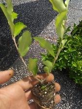 Barbados, Acerola Cherry Tree Plant, 1 Plant, Pesticide Free!!