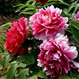 Rare Heirloom Sorbet Robust Colorful Double Blooms Peony Tree Seeds Bonsai Home Garden 10 Seeds