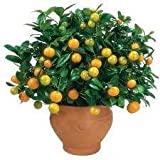 2-3 Foot Calamondin Orange Tree in Grower's Pot