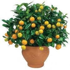 2 3 foot calamondin orange tree in grower 39 s pot buy online in uae toy products in the uae. Black Bedroom Furniture Sets. Home Design Ideas