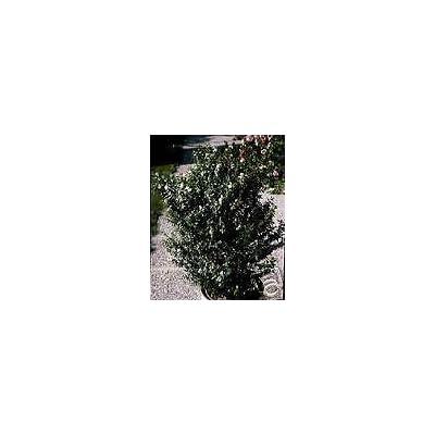 Myrtus communis Common Myrtle Seeds! : Garden & Outdoor