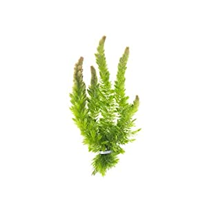 Aquatic Arts Live Hornwort Plant - 2 Extra Large Bunches of Pond Plants Over 10 Stems 2